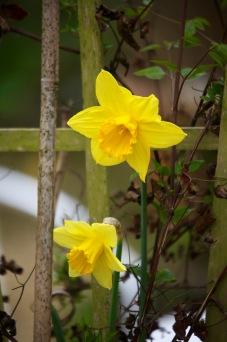 Daffodils 15