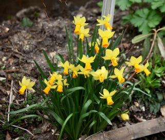 Daffodils 18