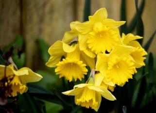 Daffodils 21