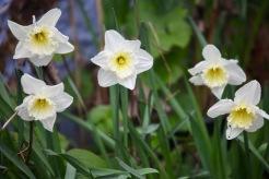 Daffodils 25