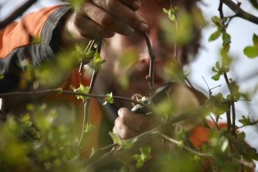 Aaron pruning crab apples 5