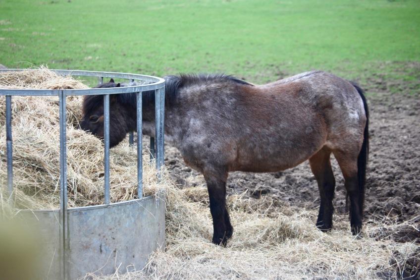 Pony eating hay 1