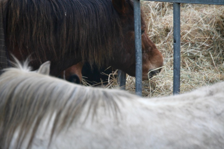 Ponies eating hay 1