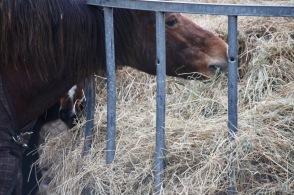 Ponies eating hay 2
