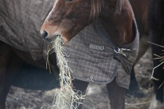 Pony eating hay 2
