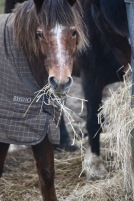Pony eating hay 3