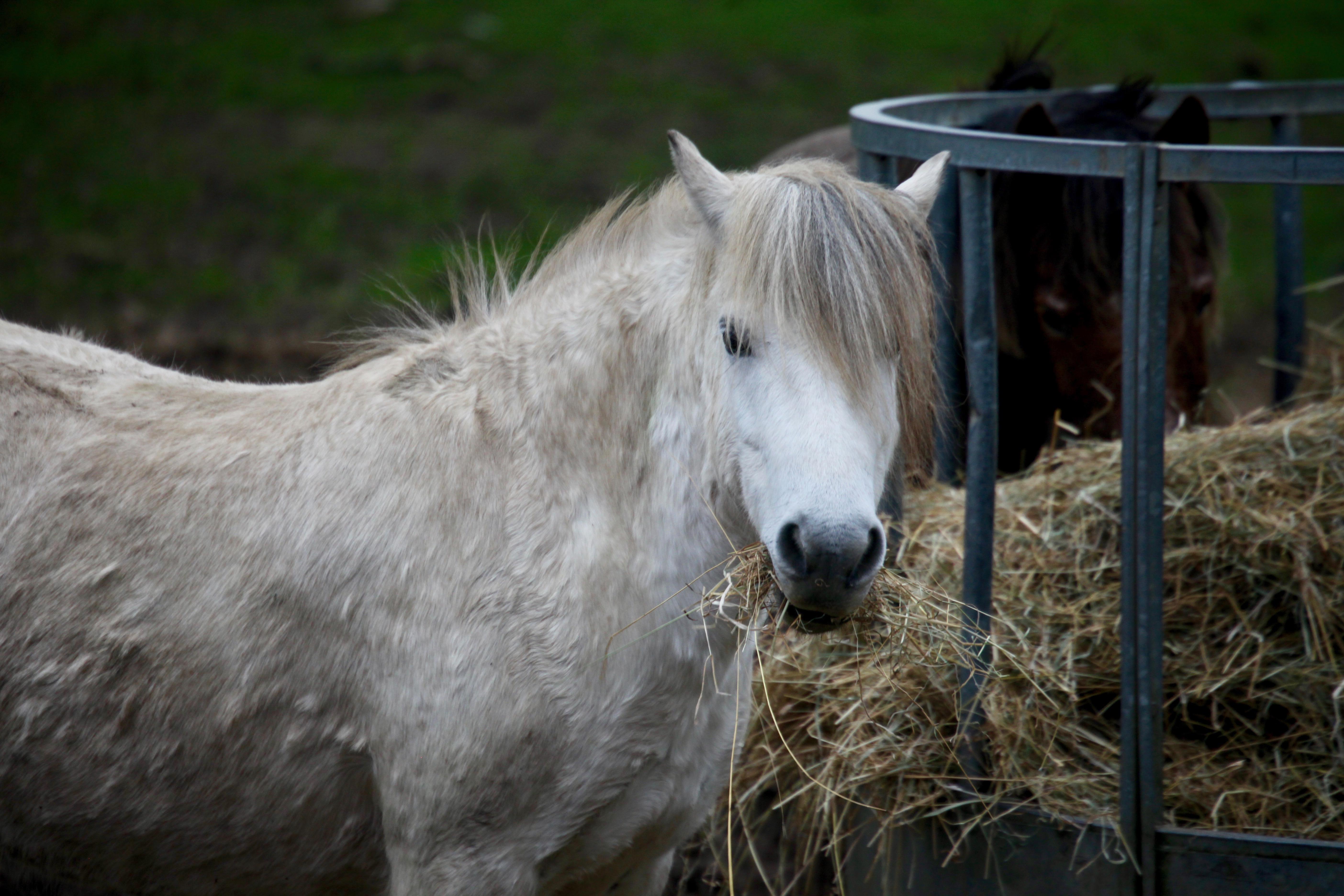 Pony eating hay 5