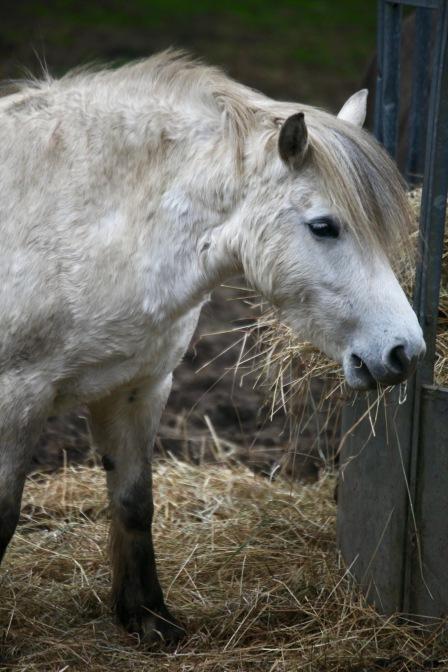 Pony eating hay 6