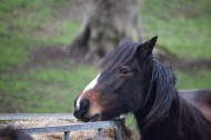 Pony eating hay 7