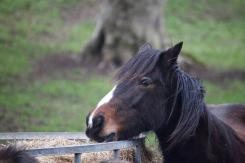 Pony eating hay 7