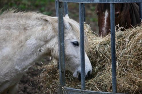 Ponies eating hay 3