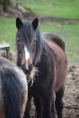 Pony eating hay 8