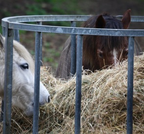 Ponies eating hay 4