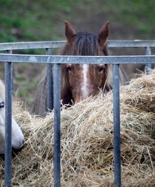 Ponies eating hay 5