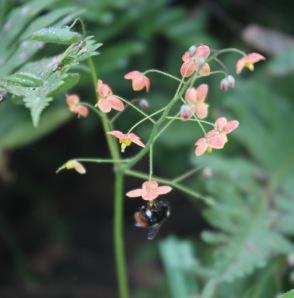 Bee and epimedium 2