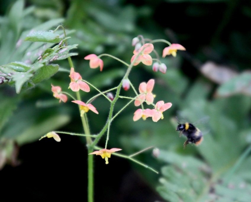 Bee and epimedium 3