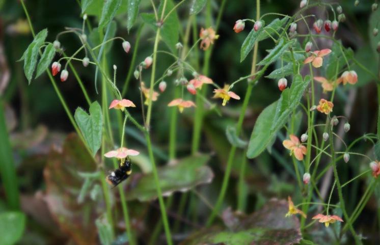 Bee and epimedium 4