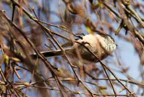 Long-tailed tit 1
