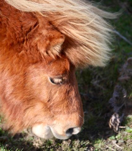 Pony Donald