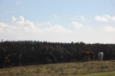 Ponies and burnt gorse 1