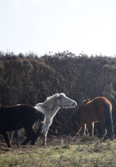 Ponies and burnt gorse 2