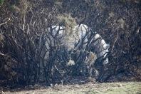 Pony in burnt gorse 1