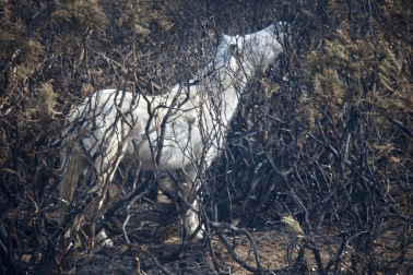Pony in burnt gorse 2