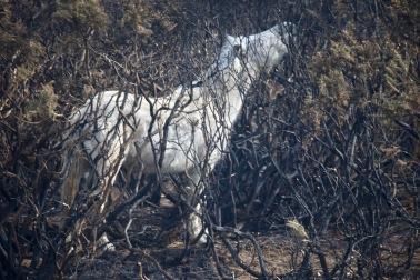 Pony in burnt gorse 2