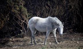 Pony and burnt gorse 1