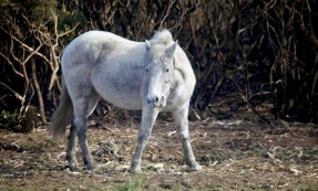Pony and burnt gorse 2