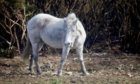 Pony and burnt gorse 2