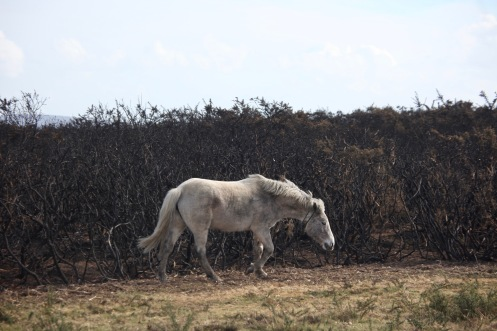 Pony and burnt gorse 3