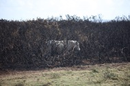Pony in burnt gorse 3