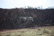 Pony in burnt gorse 3