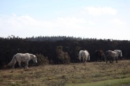 Ponies and burnt gorse 4