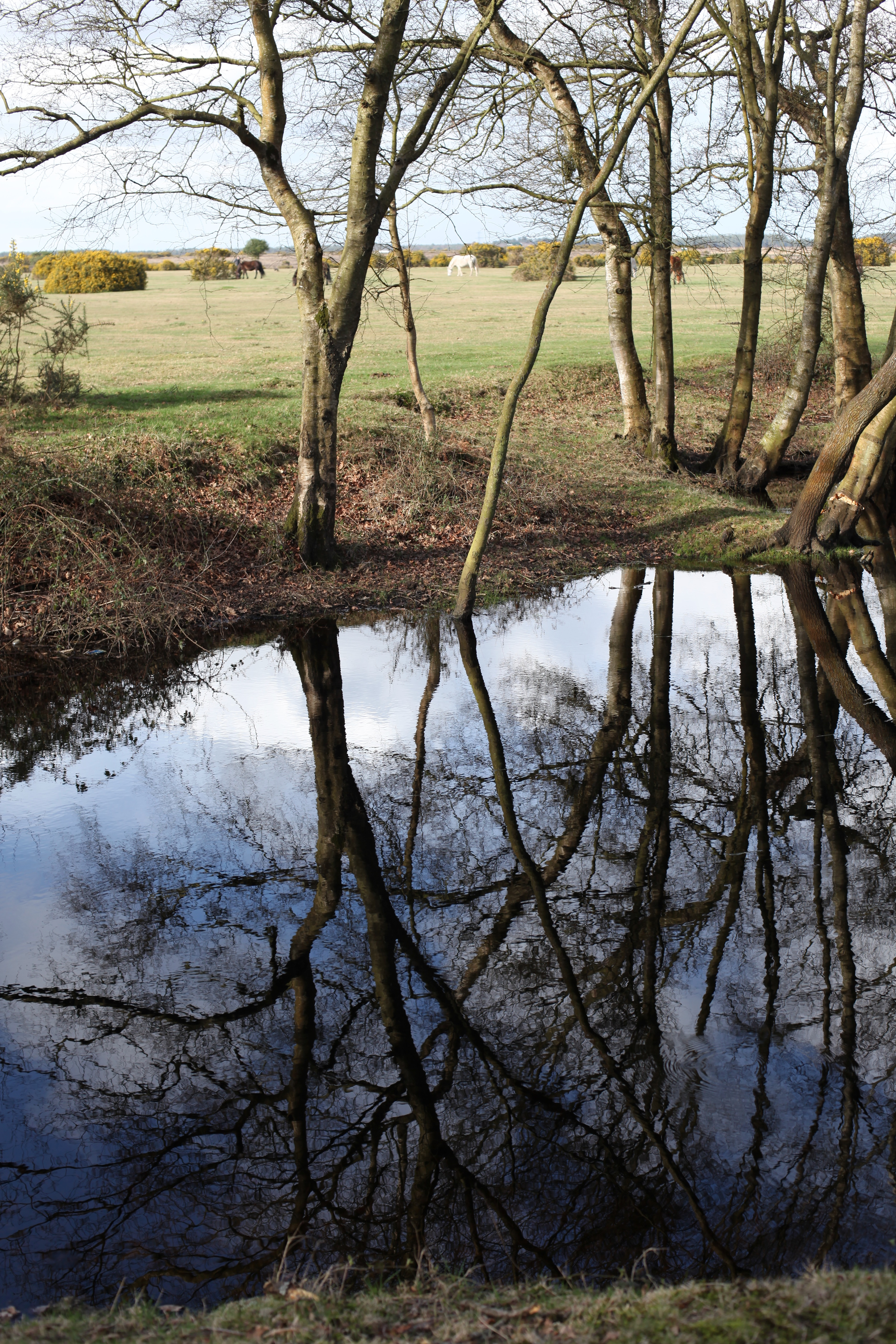 Trees reflected 2