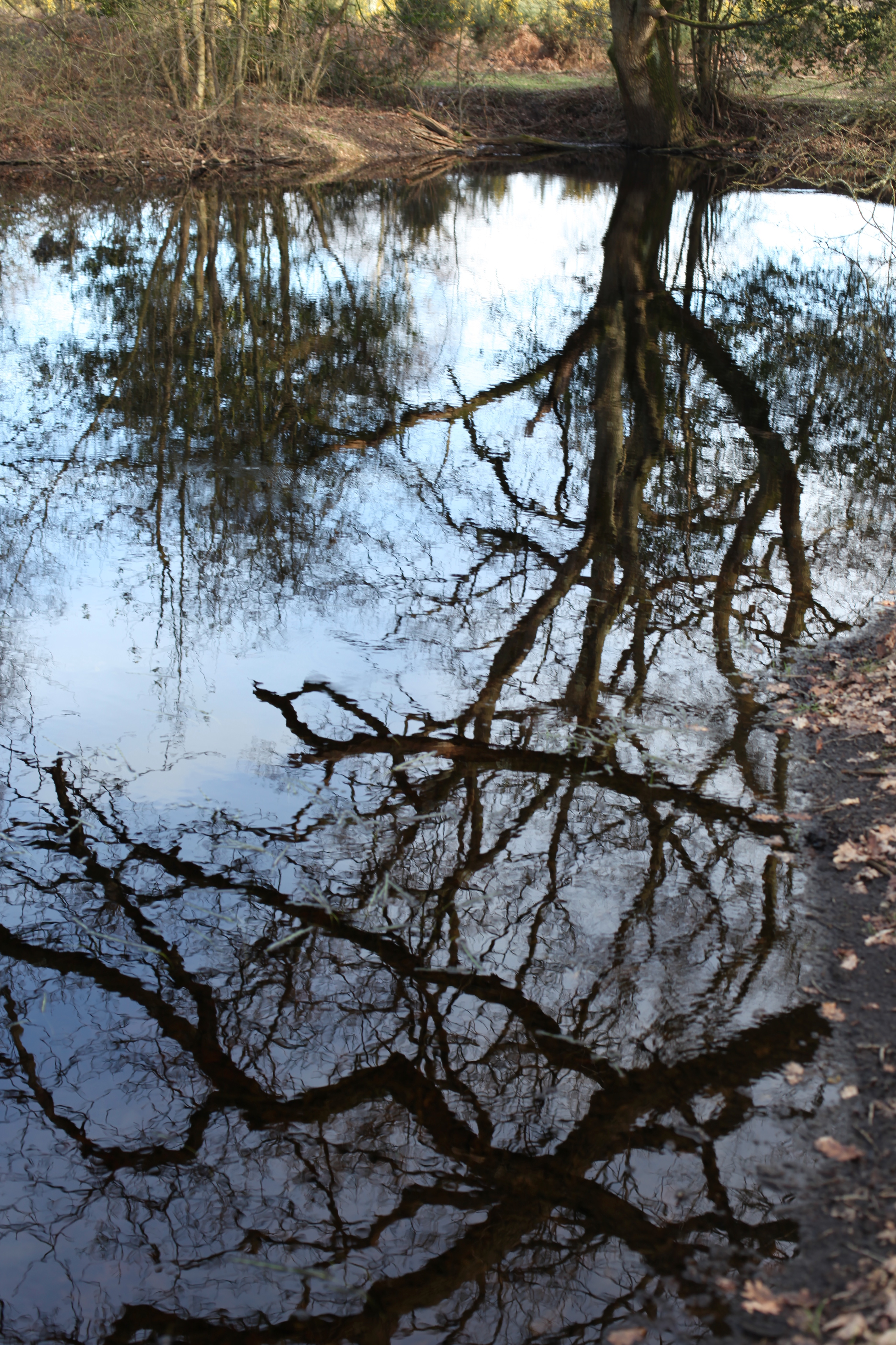 Trees reflected 4