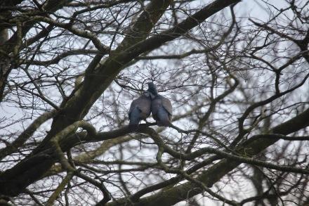 Wood pigeons 1