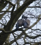 Wood pigeons 2