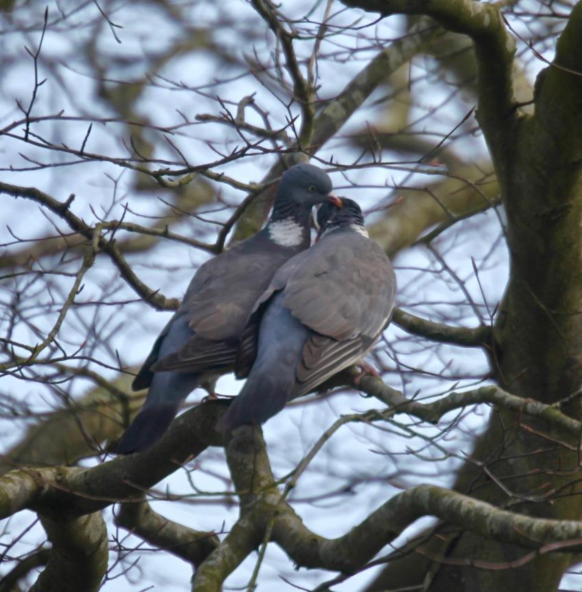 Wood pigeons 3