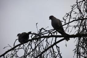 Wood pigeons 5
