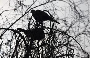 Wood pigeons 6