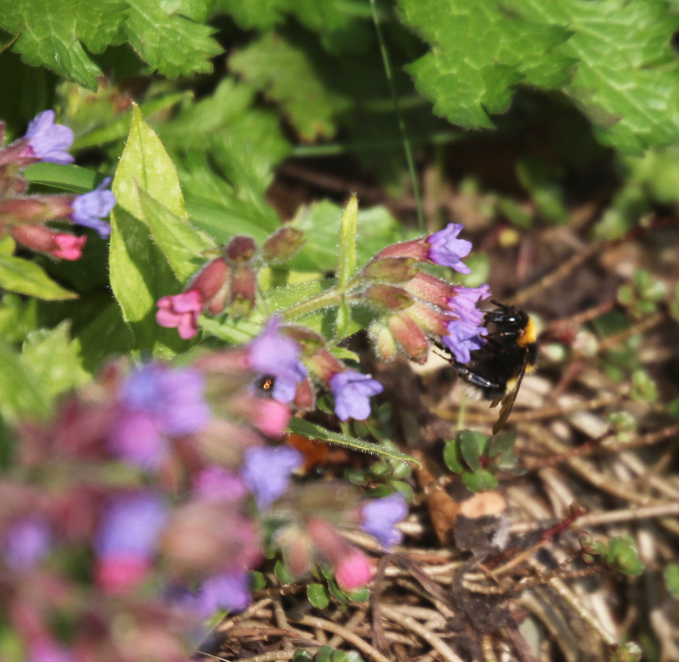 Bee on pulmonaria 4