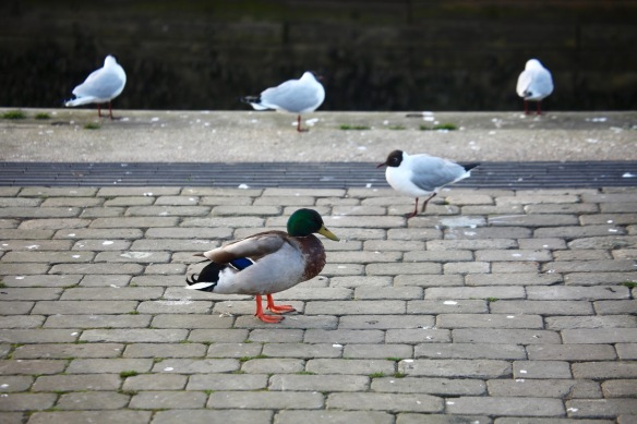 Mallard and black headed gulls
