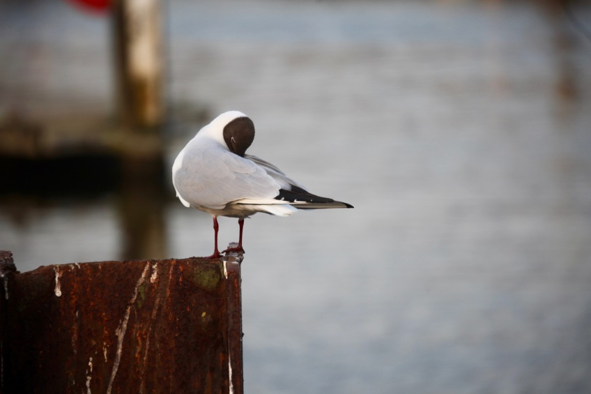 Black headed gull preening