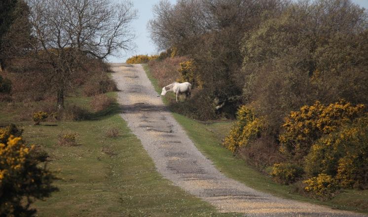 Pony and gorse 2