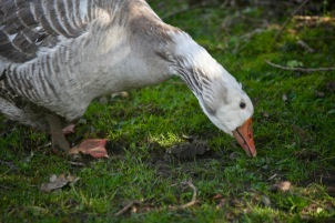 Goose 2