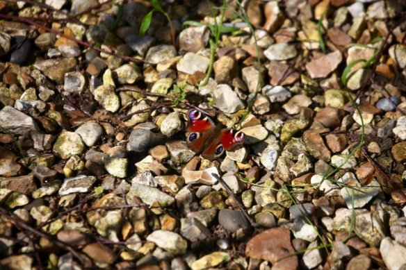 Peacock butterfly on gravel