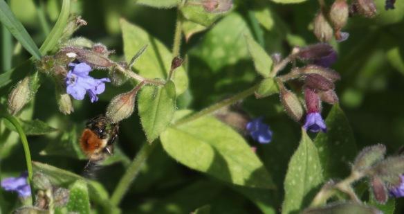 Bee on pulmonaria 1