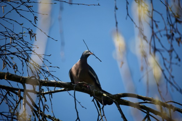 Wood pigeon with nesting material